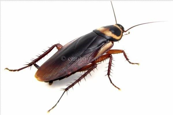 កន្លាត-แมลงสาบ ภาษาเขมรวันละคำ រៀនភាសាថៃ