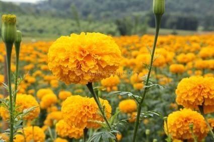 ดอกดาวเรือง…ช่วยรักษาตาและบำรุงตับ