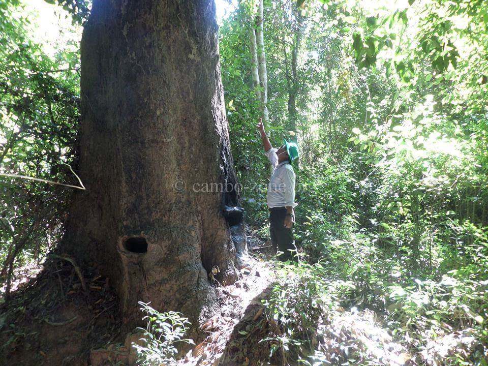 ป่าไม้ใหญ่ๆเขมรเริ่มหมด นอกจากส่งออกแล้ว เขาเอาไปไหนกัน ไปดู